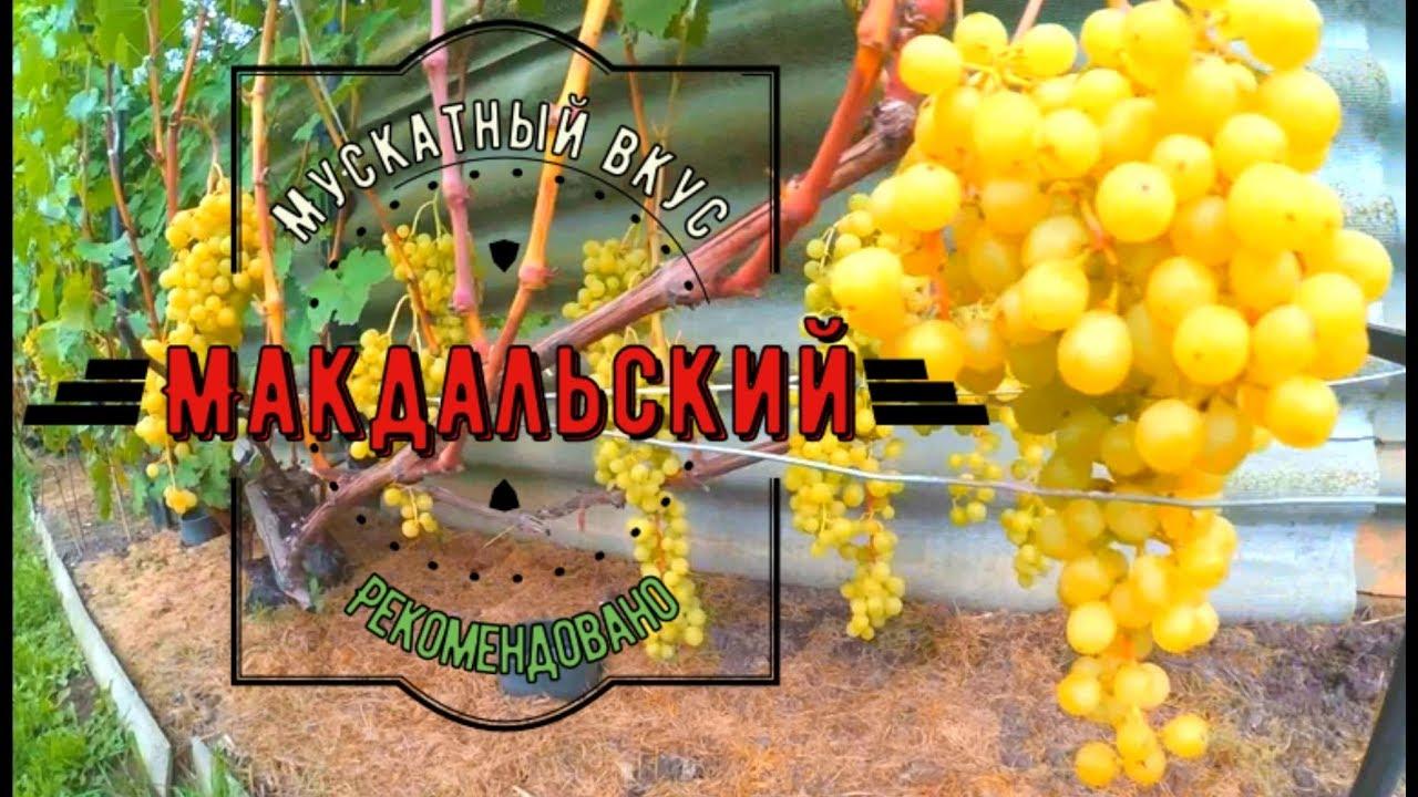сорта винограда с мускатным вкусом