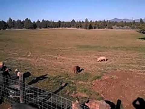 Rainshadow pigs