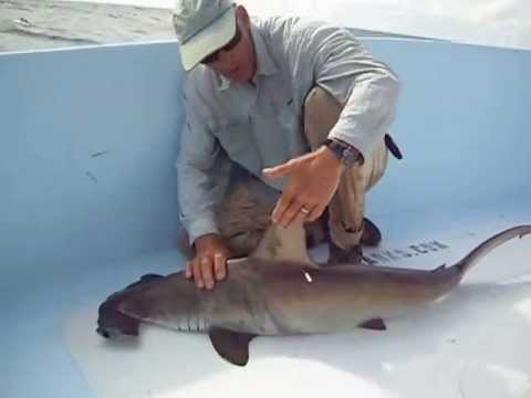 Scalloped Hammerhead Identification