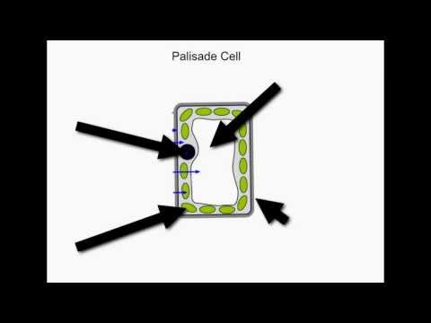 KS3 Palisade Cell