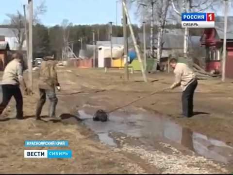 В Красноярском крае нашествие дроздов и бобров