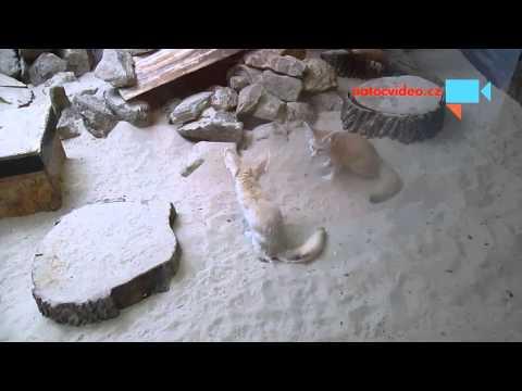 Párek fenků v jihlavské zoo