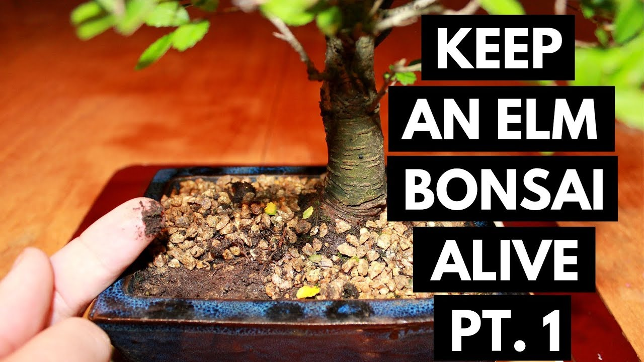 Chinese Elm Bonsai Care Assess And Location Part 1 Youtube