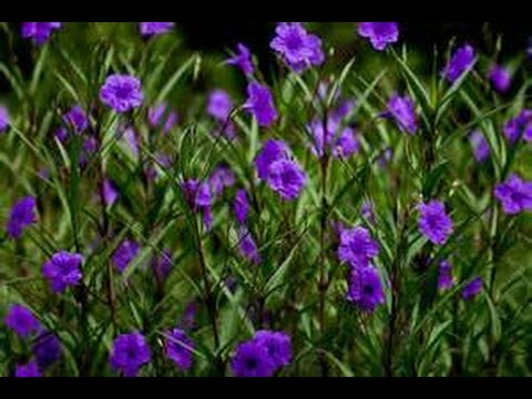 Mexican Petunia Beware Invasive Plant