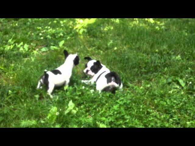 [ ?? ? d?dn? ?ave yo? ] - FRENCH BULLDOG PUPPIES PLAY PONYTAILSKENNEL