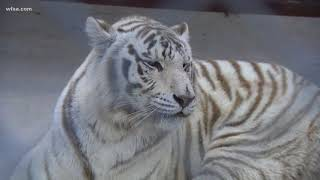 Tigers and bears seized from Texas property
