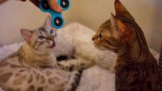 CATS REACT TO FIDGET SPINNER!! LOL