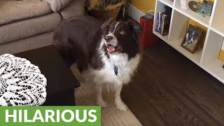 Obsessed Border Collie freaks out over light reflection