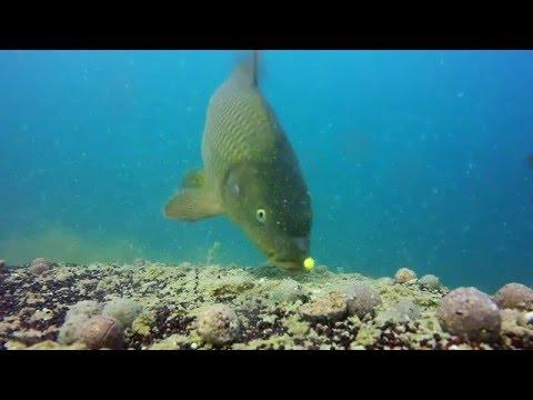 подводная съемка карпа видео