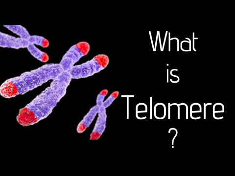 What is telomere?