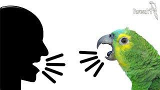 Jak nauczyć  papugę mówić?