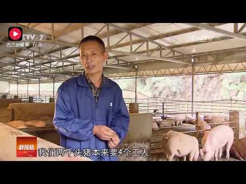 农民发明养猪新方法!不用清猪粪,1个人可以养2000头猪b( ̄▽ ̄)d