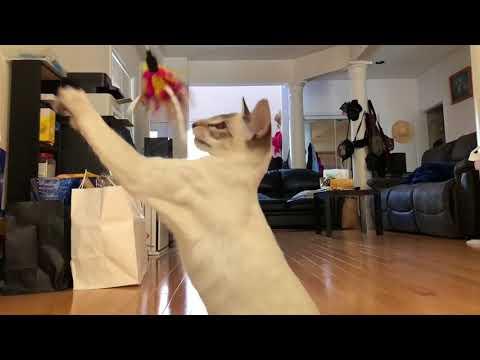 Balinese Cat Darci's Kung Fu