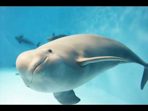 2a0cacc50b91 Finless Porpoises - YouTube