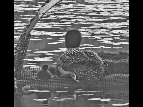 2019 Loon Cam | Loon Preservation Committee