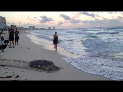 Cancun sea turtle going back to the beach after laying 98 eggs