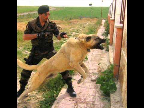Shepherd Boz Dogs / Sivas KANGAL / Turkish Anatolian Shepherd (Big Dogs)