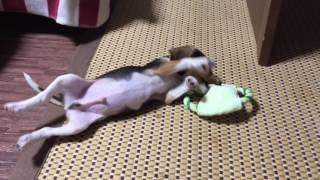 ビーグル犬 (♂)2ヶ月半.