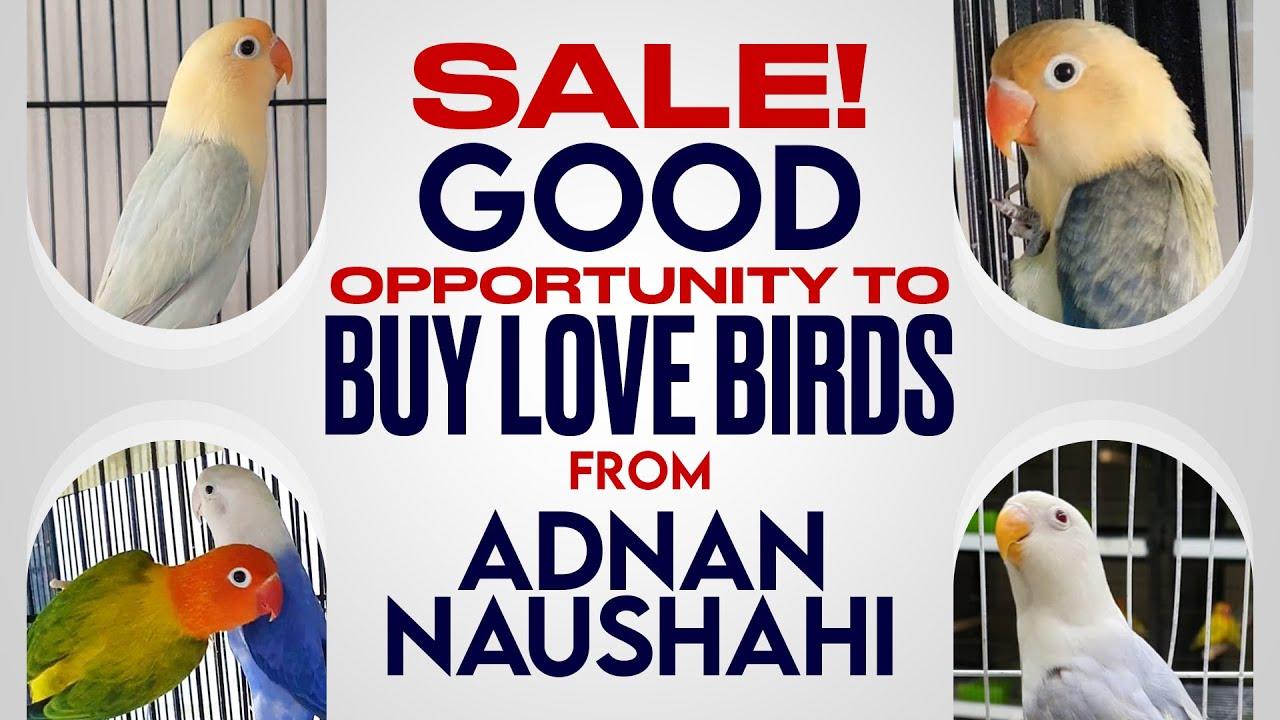 Good Opportunity To Buy Love Birds, From Adnan Naushahi
