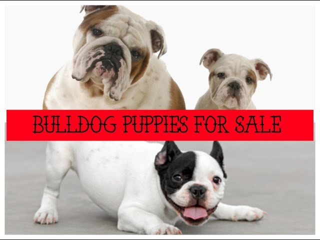 Bulldog Puppies For Sale - French Bulldog Puppies For Sale & English Bulldog Puppies For Sale