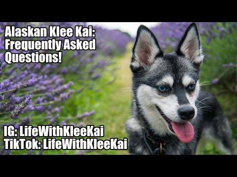 Alaskan Klee Kai: Frequently Asked Questions About Mini Huskies
