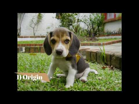 Beagle   Top 10 Interesting Facts