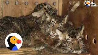 Baby Tigers Left In Box For 7 Days With No Food, Water   The Dodo