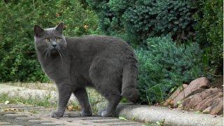 Шартрез, Уход и содержание, Породы кошек