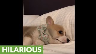 Corgi puppy refuses to get out of bed