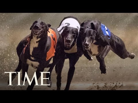 Florida's Greyhound Racing Ban Means Thousands Of Dogs Will