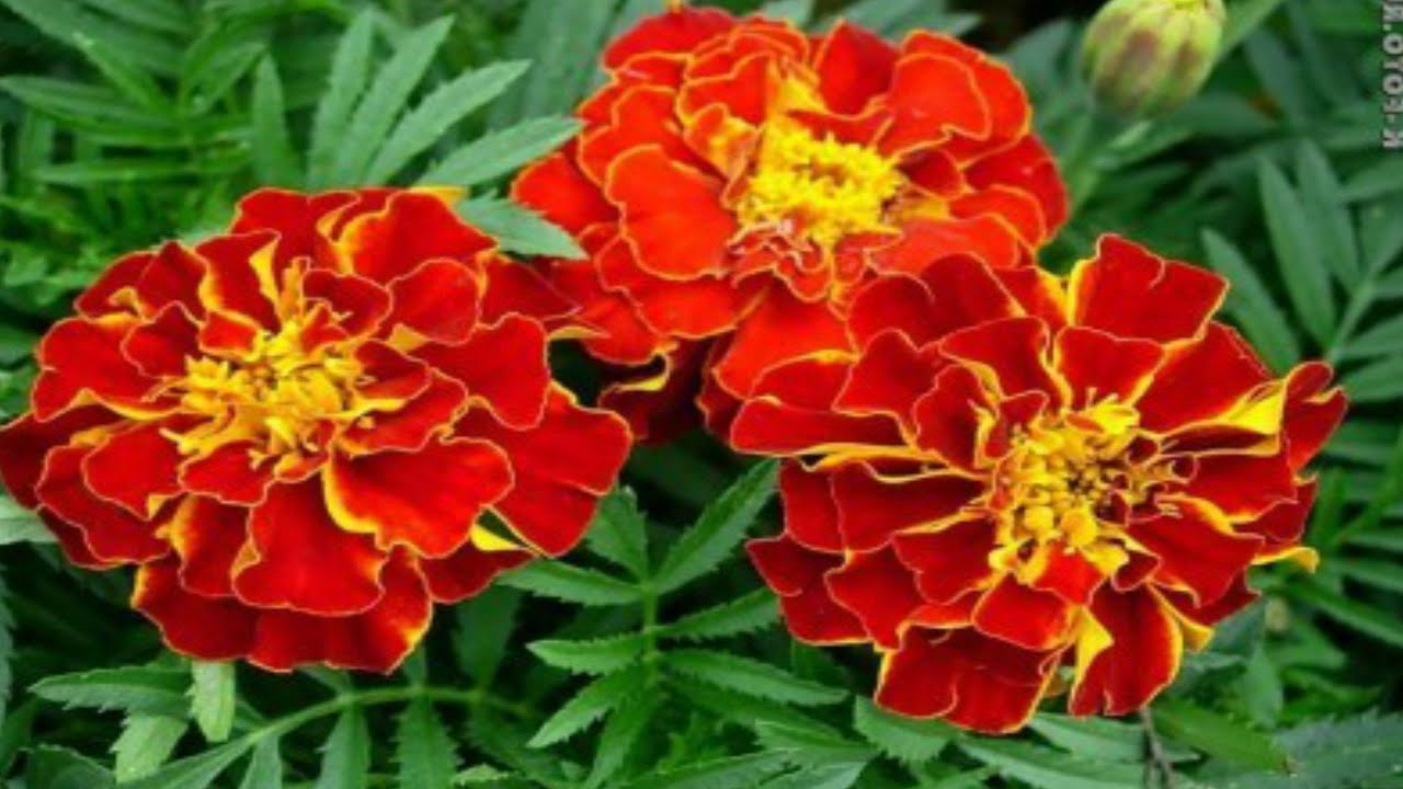 Цветы тагетес посадка и уход 193