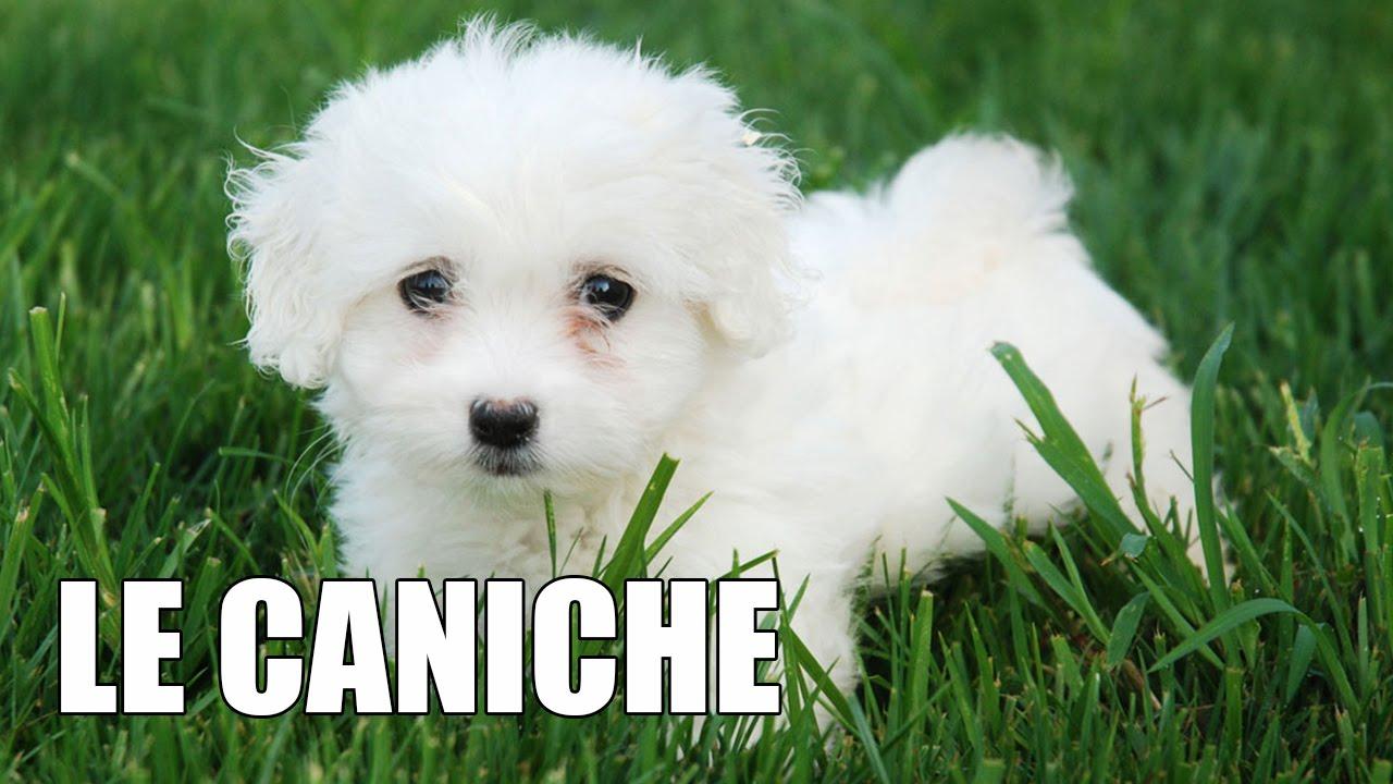 Le caniche youtube - Dessin caniche ...
