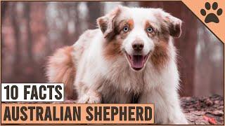 Australian Shepherd  Top 10 Facts   Dog World