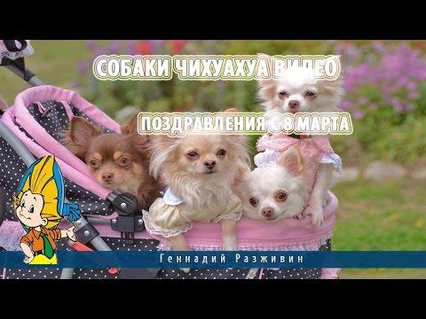 Смешные чихуахуа. Подборка видео 2015