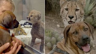 Dog And Cheetah Who Met As Babies Are Still Best Friends Nearly 2 Years Later