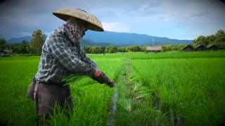 Rice Farmers Northern Thailand
