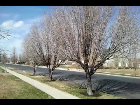 Flowering Pear Tree Trying To Save It With Dr Jimz A Fertilizer In Spring