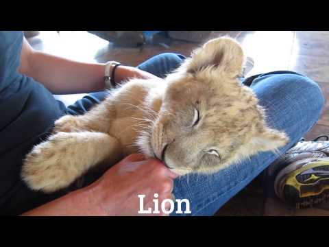 Lion - from Animals & Math - game for kids