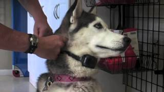 How To Fit An Electronic Dog Collar