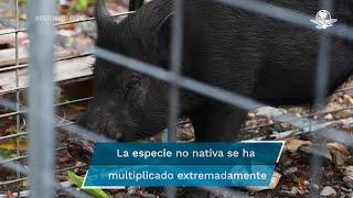 Plaga de cerdos invade Puerto Rico
