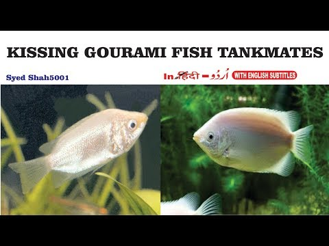 Kissing Gourami Tankmates - Fish With Gourami? #kissinggauramifish