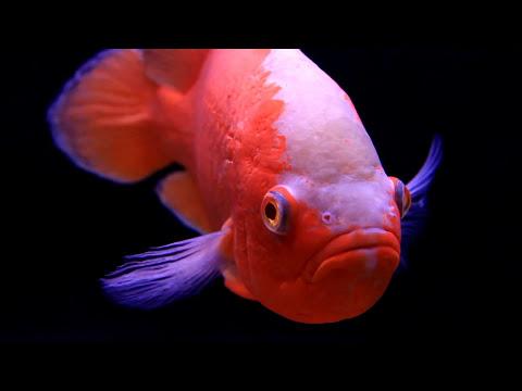 The Oscar Fish