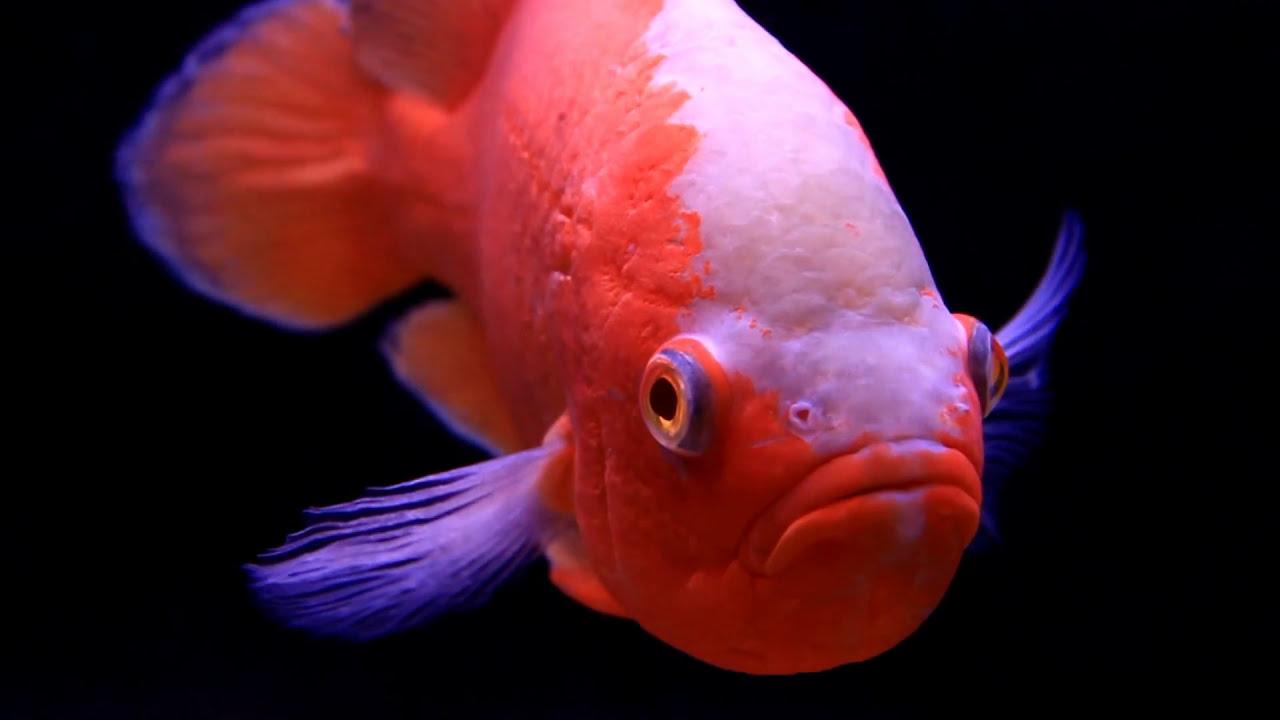 The Oscar Fish \
