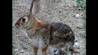 Wild Rabbits in our Yard-So California BEFORE the WOODCHIPS in our garden, all WEEDS