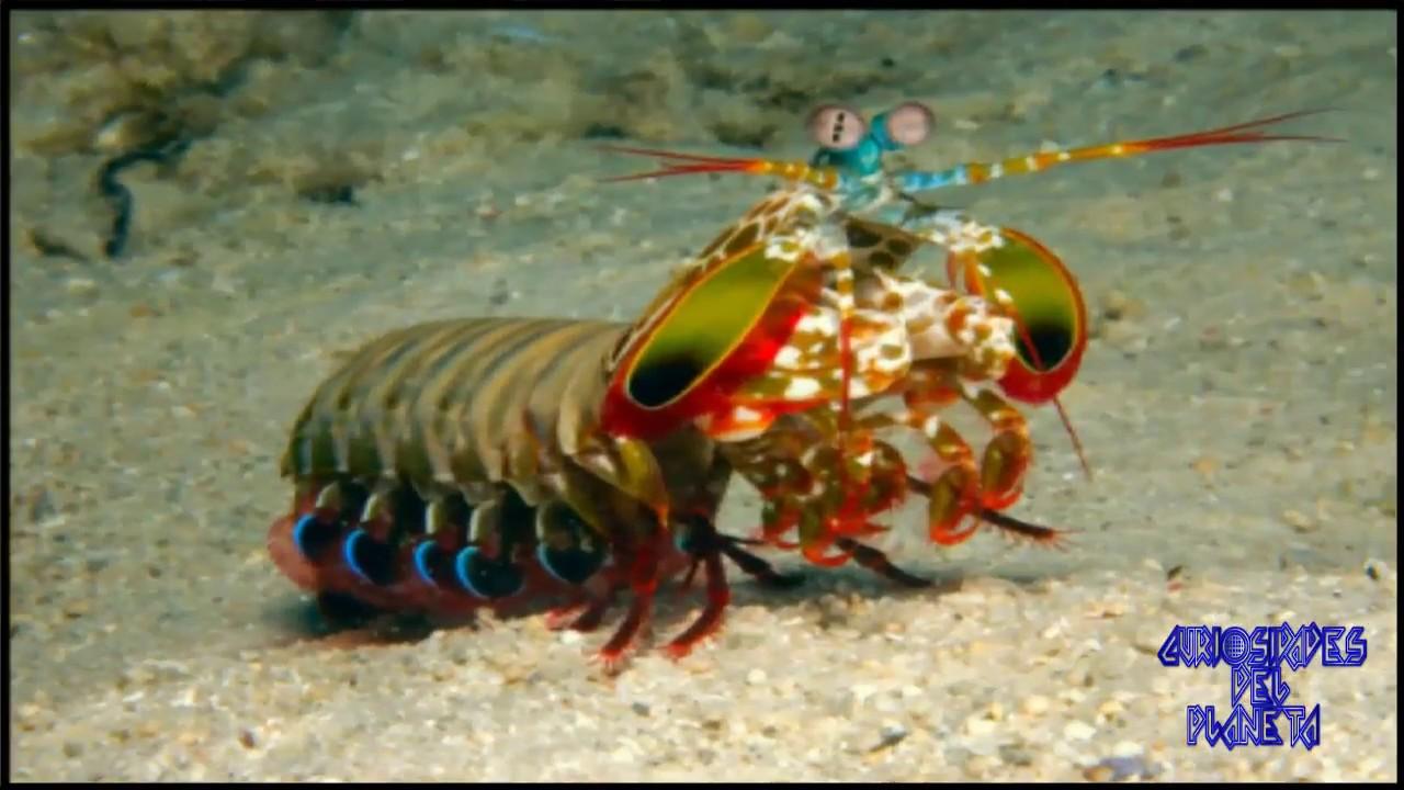 vedere mantis de mare