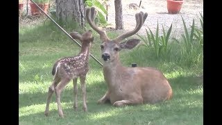 Young Deer in the Yard 2017