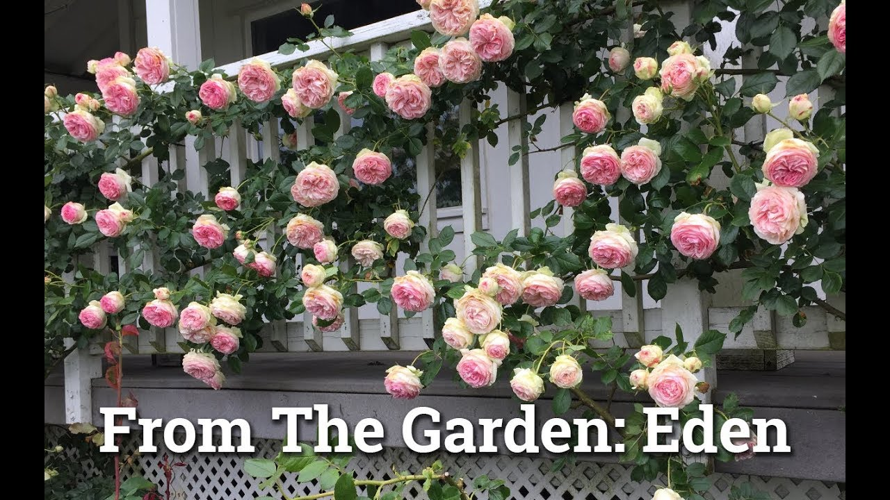 Eden Climbing Rose Youtube