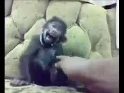 Ringtone lucu baby mongkey funny