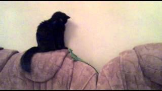 Прыжок Шлемоностного Василиска на кошку (ящерица)