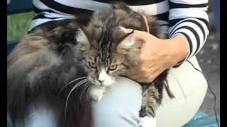 Мэйн-куны Ирины Гусевой / Maine Coon cats
